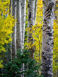 aspen-fall-lee-vining-canyon-sierra-california-ae.jpg
