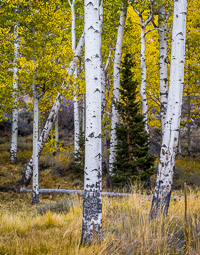 aspen-pine-forest-fall-lee-vining-canyon-california-aeV2.jpg