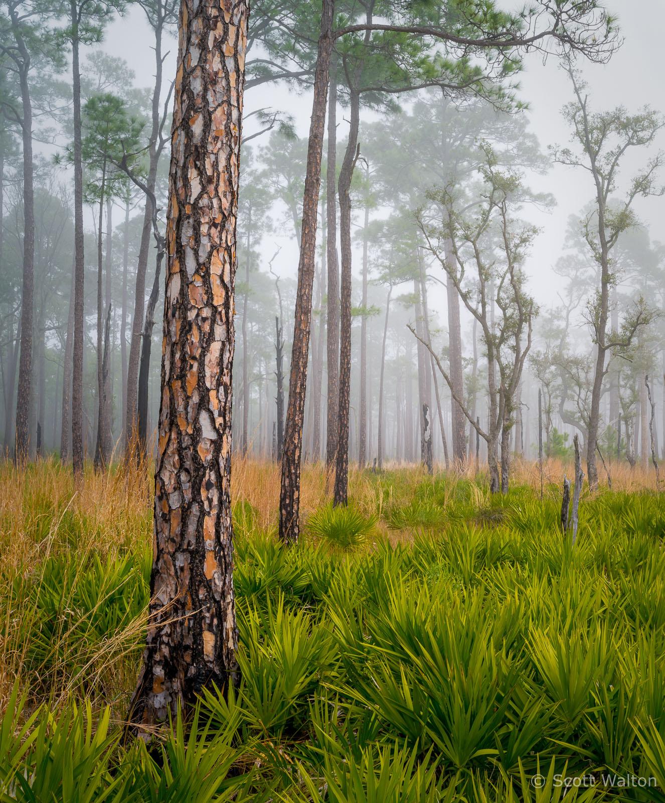 Longleaf-Pine-Fog-Choctawhatchee-Eglin-Florida.jpg