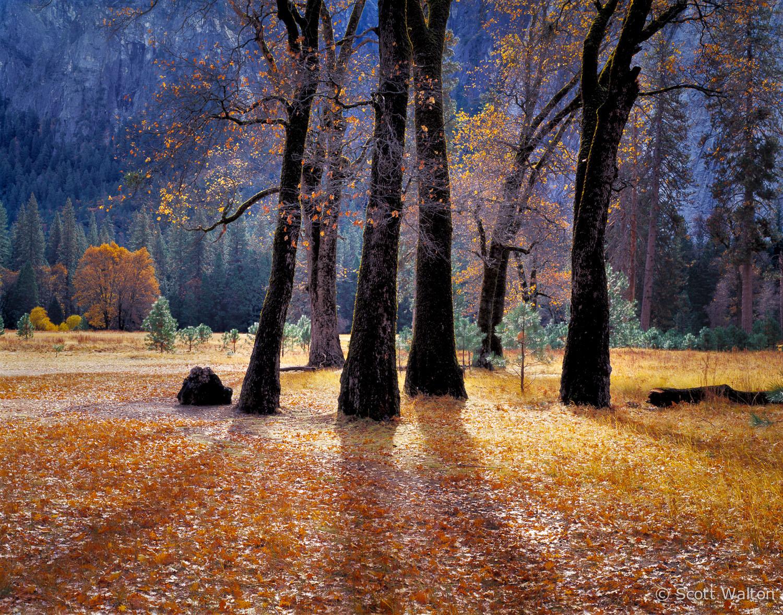 black-oak-trees-el-capitan-meadow-yosemite-california.jpg