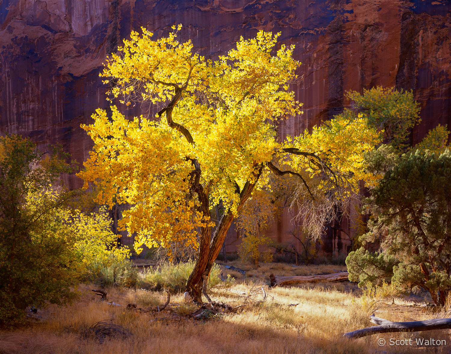 the-sentinel-glowing-cottonwood-coyote-gulch-utah.jpg