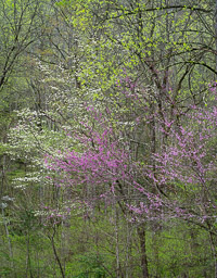 dogwood-and-redbud-great-smoky-mountains-tennessee.jpg