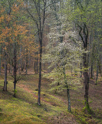 dogwood-early-spring-great-smoky-mountains-north-carolina-Edit.jpg