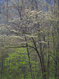 dogwood-rain-great-smoky-mountains-north-carolina.jpg
