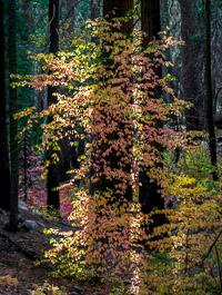 Backlit-Fall-Leaves-Sierra-Forest-Yosemite-California.jpg