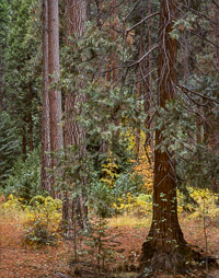 Yosemite-Valley-Forest-Detail-Fall-California-2.jpg