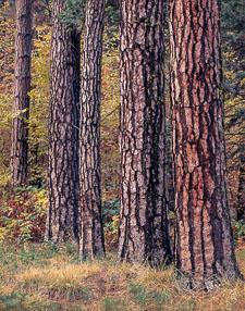 YosemiteValleyTigerStripeTreesVertColor.jpg