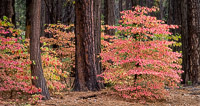 Young-Dogwoods-Autumn-Yosemite-California.jpg