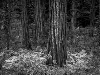 ferns-forest-detail-bw-yosemite-california.jpg