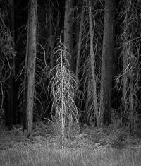 new-growth-forest-edge-yosemite-california_v1.jpg