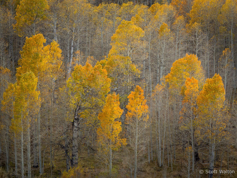 aspen-forest-fall-color-conway-summit-eastern-sierra-california.jpg