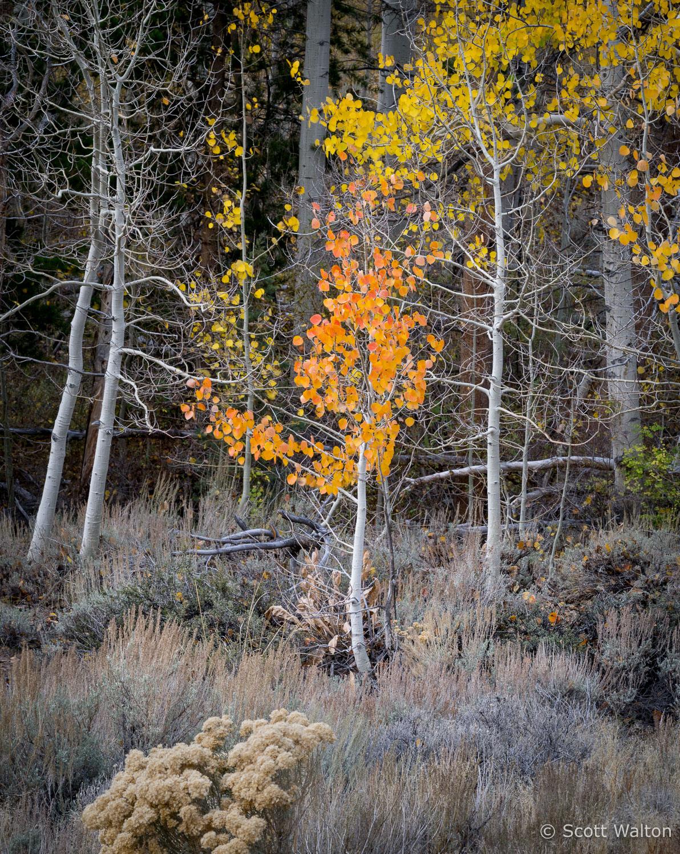 aspen-forest-walker-creek-eastern-sierra-california.jpg