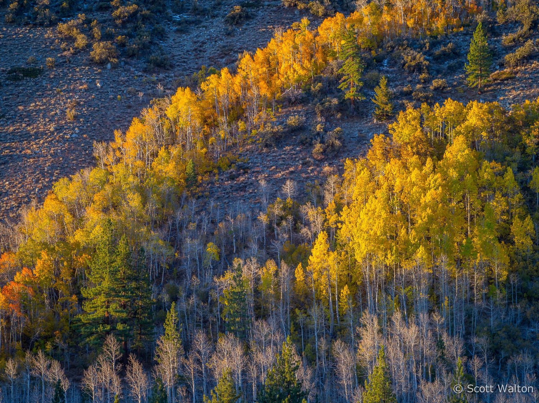 aspen-hillside-autumn-sunrise-lundy-canyon-california.jpg