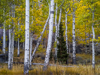 aspen-forest-autumn-lee-vining-canyon-california.jpg