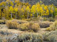 aspen-forest-detail-june-lake-loop-california.jpg