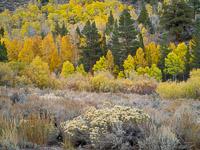 aspen-forest-detail2-june-lake-loop-california.jpg