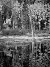 aspen-forest-reflections-pond-bw-lundy-canyon-california.jpg