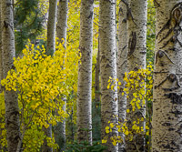 aspen-group-autumn-lee-vining-canyon-californiaV3.jpg