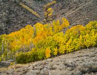 aspen-hillside-color2-june-lake-loop-california.jpg