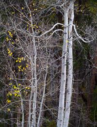 aspen-pair-walker-creek-eastern-sierra-california.jpg