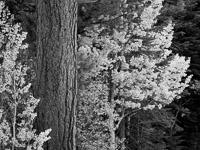 aspen-pine-autumn-bw-lee-vining-canyon-california.jpg