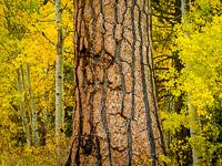 aspen-pine-autumn2-lee-vining-canyon-california.jpg