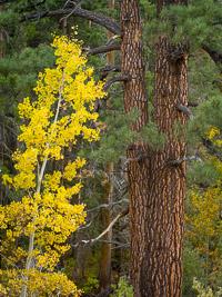 aspen-pine-detail-june-lake-loop-california.jpg