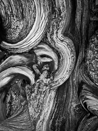 bristlecone-pine-detail-white-mountains-california.jpg