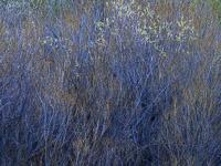 creekside-growth-rush-creek-eastern-sierra-california.jpg