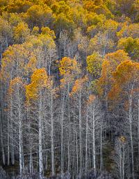 tall-aspen-fall-conway-summit-eastern-sierra-california.jpg