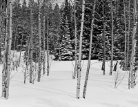 aspen-fir-snow-rockefeller-parkway-grand-teton-national-park-wyoming.jpg