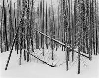 leaning-burned-trees-snow-rockefeller-parkway-grand-teton-national-park-wyoming.jpg