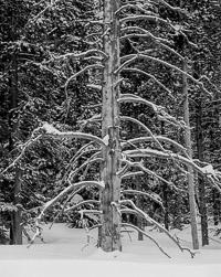 tree-snow-rockefeller-parkway-grand-teton-national-park-wyoming.jpg