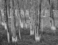 wick-trees-bw-yellowstone-national-park-wyoming.jpg