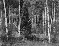 forest-near-maroon-bells-aspen-colorado.jpg