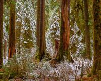 fresh-snow-hoh-rain-forest-olympic-national-park-washington.jpg