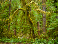 graceful-tree-hoh-rain-forest-olympic-national-park-washington.jpg