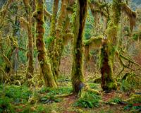 maple-grove-trees-hoh-rain-forest-olympic-national-park-washington.jpg