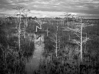 bent-dwarf-cypress-horiz-bw-everglades-national-park-florida.jpg
