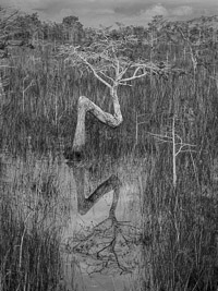 bent-dwarf-cypress-vert-bw-everglades-national-park-florida.jpg