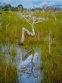 bent-dwarf-cypress-vert-color-everglades-national-park-florida.jpg