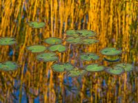 lilypads-reflections-everglades-national-park-florida.jpg