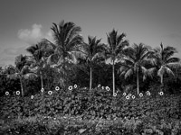 palms-sunflowers-color-pano-homestead-florida.jpg