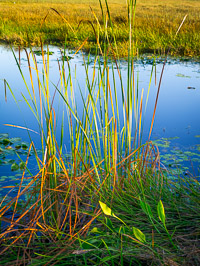 reeds-sunrise-everglades-national-park-florida.jpg