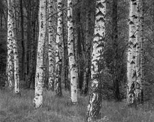 TreesGlencoeScotland.jpg