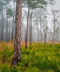 Longleaf-Pine-Fog-Choctawhatchee-Eglin-Florida_v1.jpg